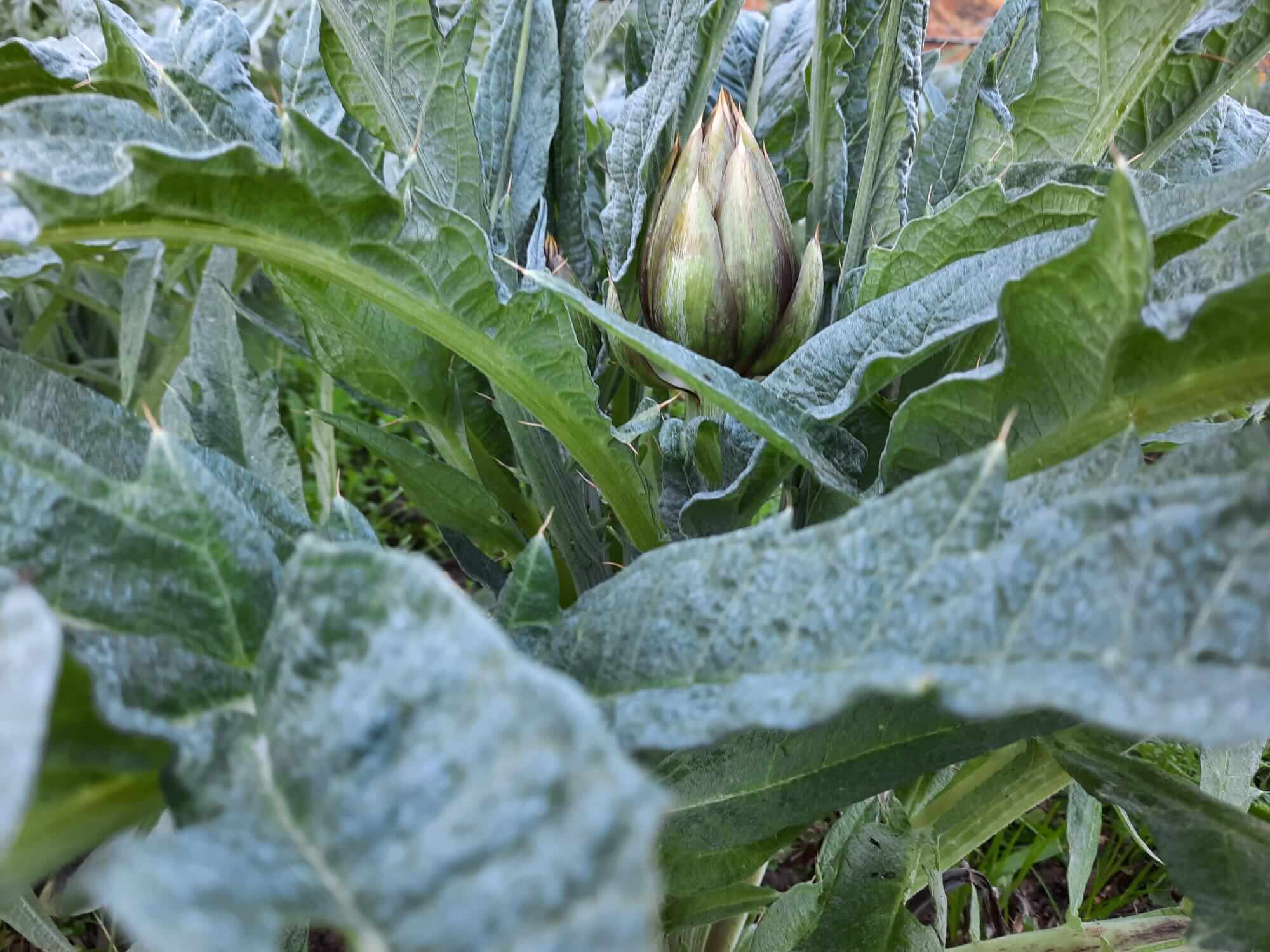 Weeding weeds around artichokes