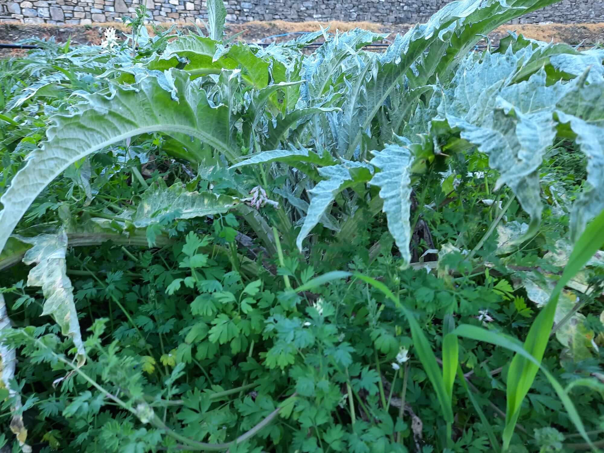 Weeds in the artichoke field