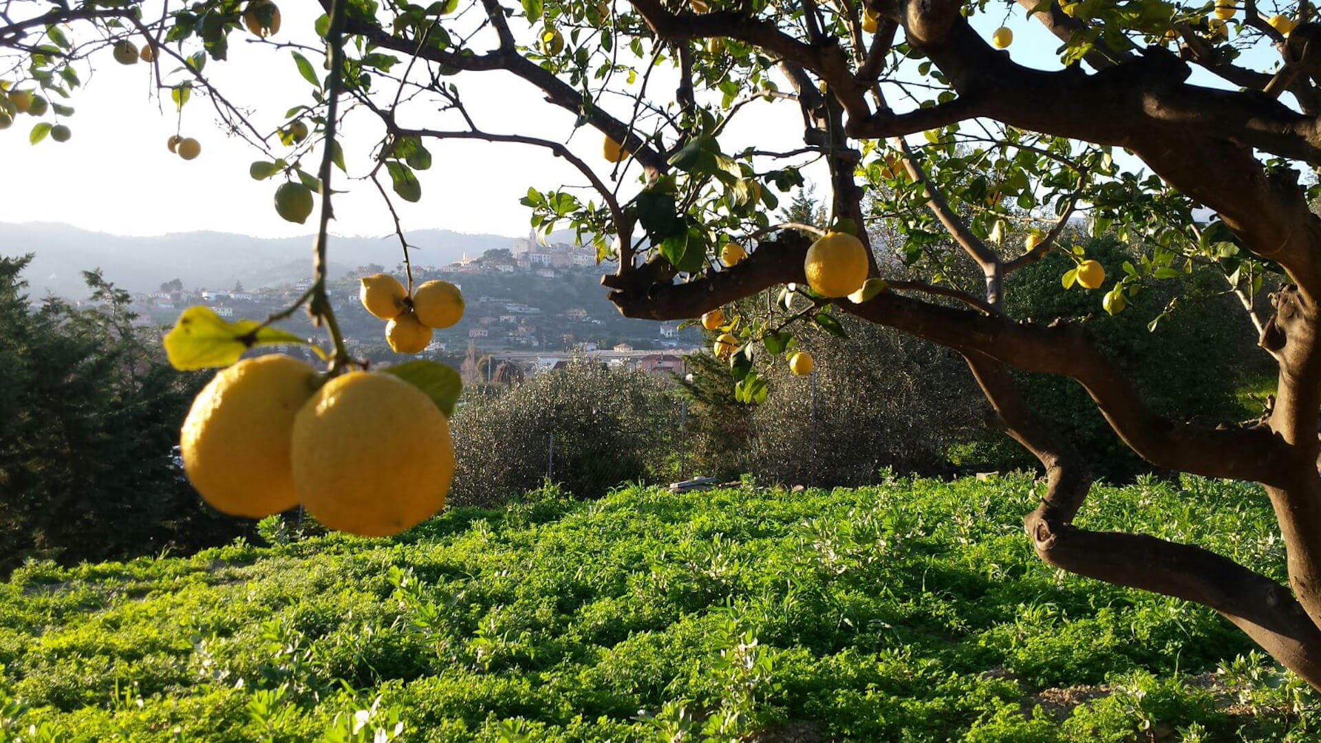 How the lemons are grown in our farm